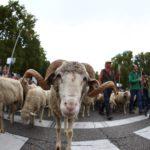 Circa 2000 pecore hanno attraversato il centro di Madrid per la 26esima Festa della transumanza